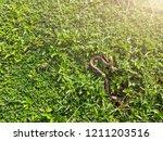 snake in backyard.danger that... | Shutterstock . vector #1211203516