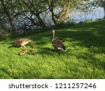 goose parents and babies | Shutterstock . vector #1211257246