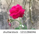 beautiful red rose flower...   Shutterstock . vector #1211286046