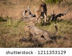 cheetah nuzzles cub as two... | Shutterstock . vector #1211353129