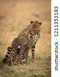 cheetah sits and nuzzles cub on ... | Shutterstock . vector #1211353183