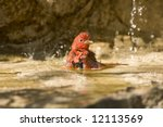 A Summer Tanager In A Pool Of...