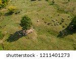 Transhumance  Sheep Herd  And...