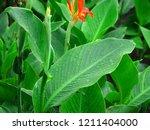 fresh raindrops glisten on the... | Shutterstock . vector #1211404000