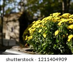 Pots Of Yellow Chrysanthemums...
