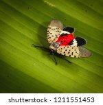 spotted lanternfly or  lantern... | Shutterstock . vector #1211551453