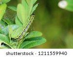 the box tree moth caterpillar   Shutterstock . vector #1211559940