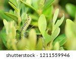 the box tree moth caterpillar   Shutterstock . vector #1211559946