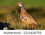 wild red legged partridge in... | Shutterstock . vector #1211626753