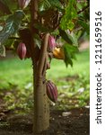 cacao tree plant with pod ready ...   Shutterstock . vector #1211659516