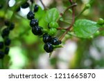malabar spinach tree with black ... | Shutterstock . vector #1211665870