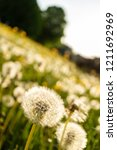 dandelion seeds in backlight on ... | Shutterstock . vector #1211692969