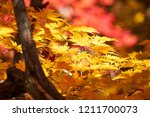 the autumn maple leaves of... | Shutterstock . vector #1211700073