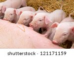 Newborn Piglets Suck The...