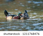 A Wood Duck Couple Is...