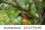 the scaly breasted munia or... | Shutterstock . vector #1211772190