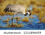 common crane  grus grus  big... | Shutterstock . vector #1211896459