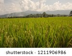 ear of rice and green leaves in ... | Shutterstock . vector #1211906986