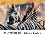 Stock photo beautiful stripped zebra head in african bush etosha game reserve namibia africa safari wildlife 1211911279
