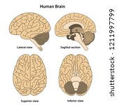 anatomy of the human brain.... | Shutterstock .eps vector #1211997799