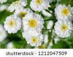 achillea ptarmica  the... | Shutterstock . vector #1212047509