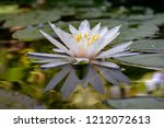 Beautiful White Water Lily Or...