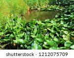 pond with water lily plants and ... | Shutterstock . vector #1212075709