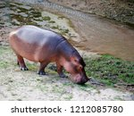 hippos are looking for food.   Shutterstock . vector #1212085780