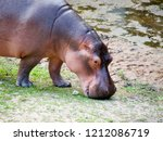 hippos are looking for food.   Shutterstock . vector #1212086719