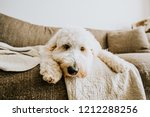 golden doodle dog at home on... | Shutterstock . vector #1212288256