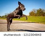 A Beautiful Great Dane Leaping...