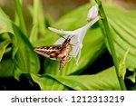 a hawk moth drinks from a...   Shutterstock . vector #1212313219