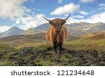 Highland Cow In The Trossachs...