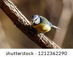eurasian blue tit sitting on... | Shutterstock . vector #1212362290
