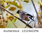 eurasian bullfinch female... | Shutterstock . vector #1212362296