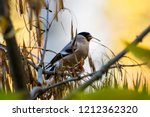 eurasian bullfinch female... | Shutterstock . vector #1212362320