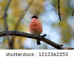 eurasian bullfinch male sitting ... | Shutterstock . vector #1212362353