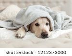 Stock photo bored young golden retriever dog under light gray plaid pet warms under a blanket in cold winter 1212373000