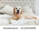 Stock photo golden retriever puppy dog in luxurious bright colors classic eclectic style bedroom with king size 1212424600