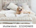 Stock photo golden retriever puppy dog in luxurious bright colors classic eclectic style bedroom with king size 1212424603
