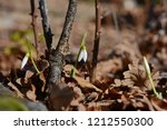 closeup of white blossoming... | Shutterstock . vector #1212550300