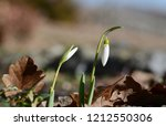 closeup of white blossoming... | Shutterstock . vector #1212550306