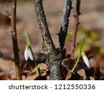 closeup of white blossoming... | Shutterstock . vector #1212550336