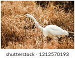 Clear Great White Egret