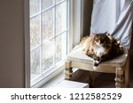 Big Large Maine Coon Calico Ca...