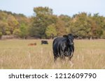 Black Angus beef cow standing in the foreground with other cows out of focus in the background in an autumn pasture.