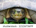 yellow headed temple turtle... | Shutterstock . vector #1212673699