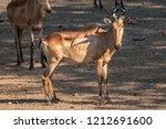 a hartebeest staring back at... | Shutterstock . vector #1212691600