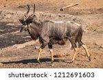 male nyala walking towards a... | Shutterstock . vector #1212691603