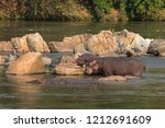 a young hippo and its mother... | Shutterstock . vector #1212691609